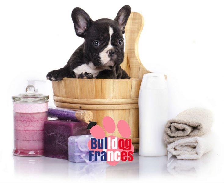 Como bañar al bulldog francés