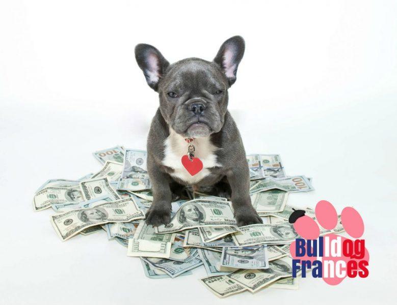 Bulldog Frances Precio