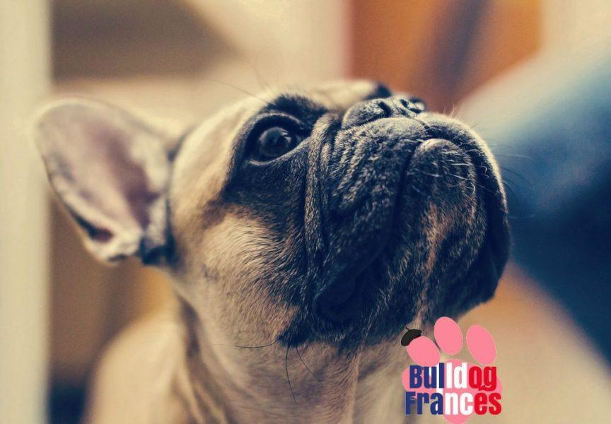 bulldog francés temperamento