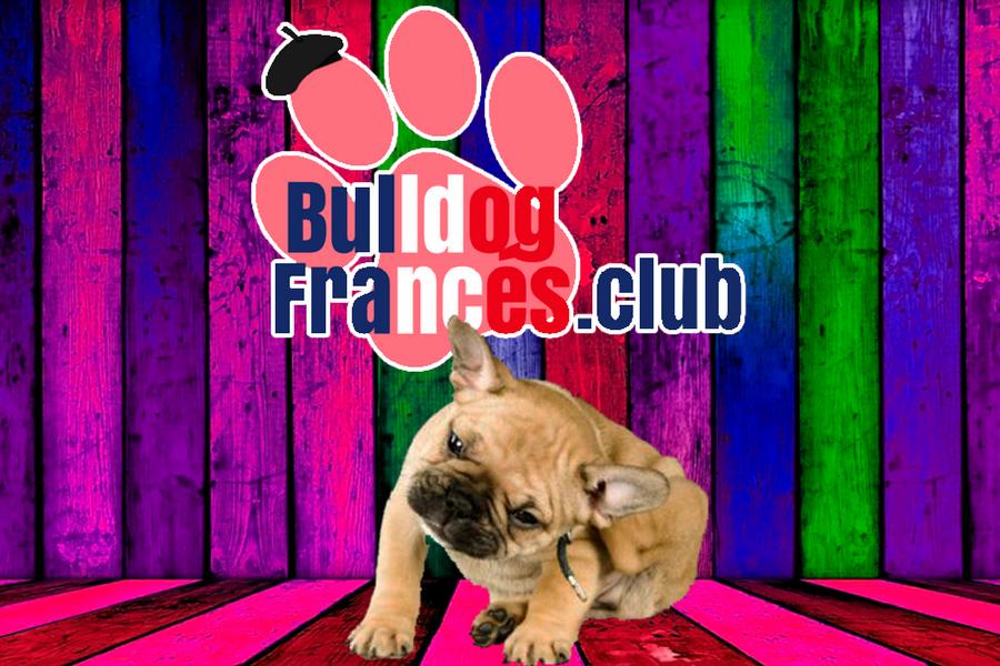Dermatitis atópica en Bulldog francés