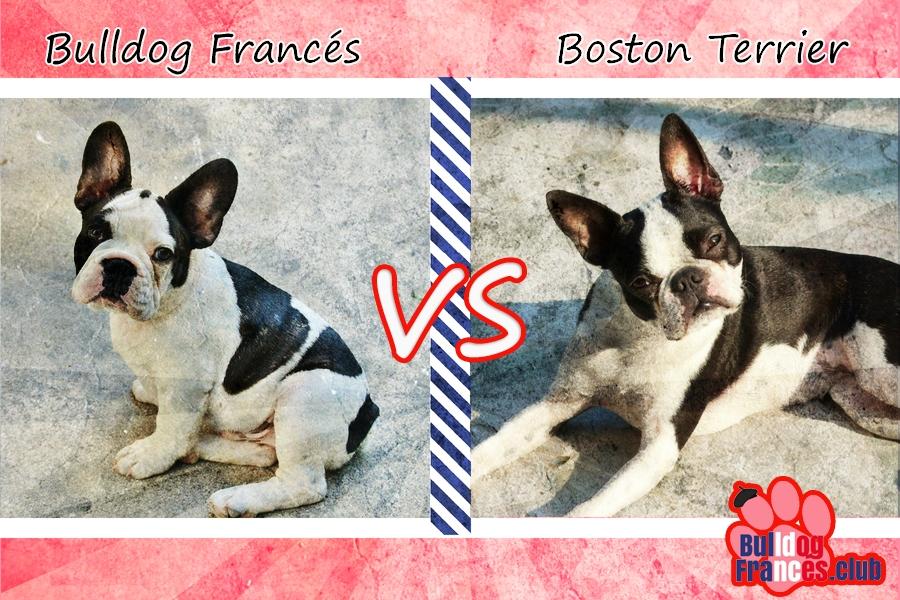 Bulldog francés vs Boston Terrier
