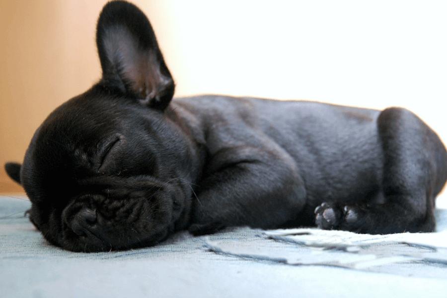 Bulldog Francés bebé descansando