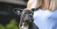 french bulldog blue