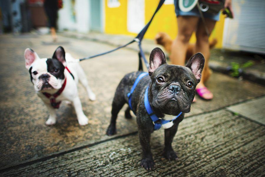 bulldog francés, vaquita y merle
