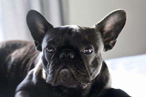bulldog francés-pug