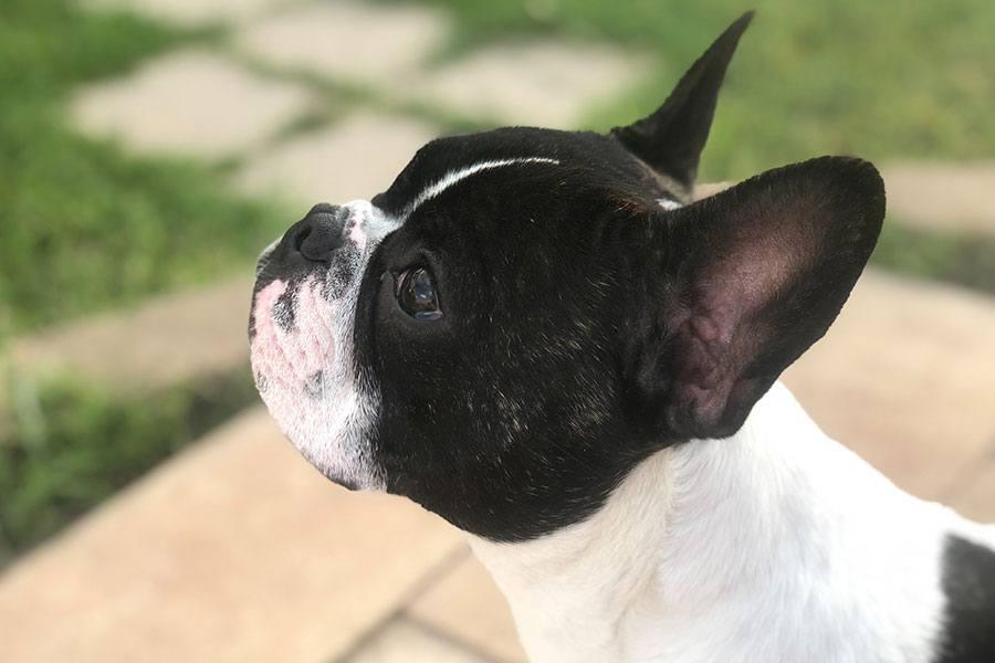 bulldog frances vaquita