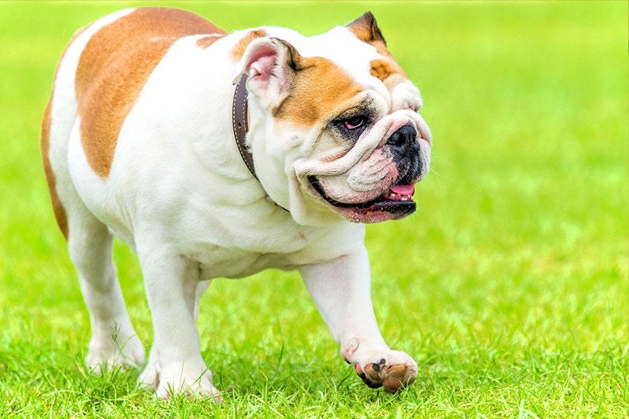 cuerpo del bulldog inglés