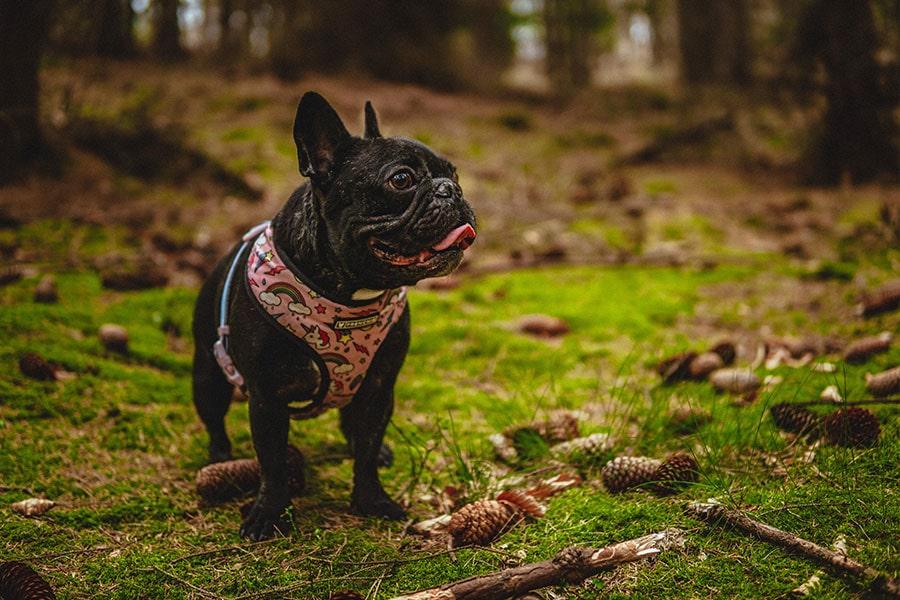 contextura del bulldog francés