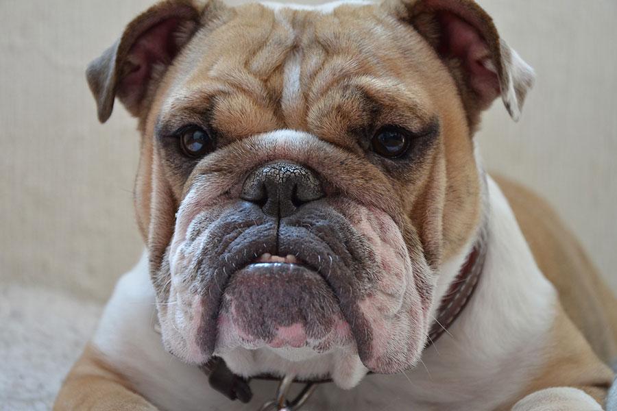 bulldog inglés orejas y cráneo