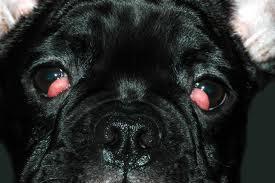 ojo de cereza en bulldog