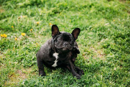 dermatitis húmeda perros