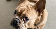 ojo de cereza en bulldog frances